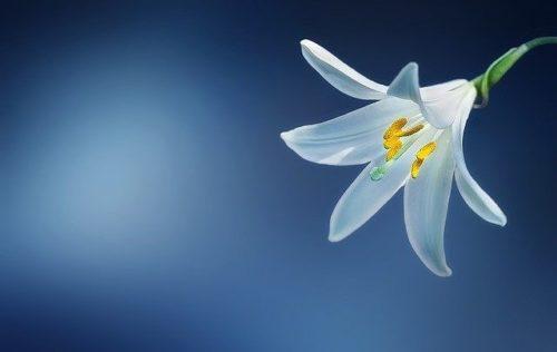 美しいユリの花