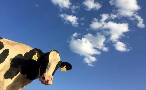 カメラをのぞき込む牛